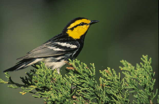 GoldenCheekedWarbler_CreativeCommons